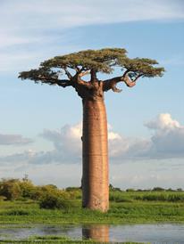 Clicca sull'immagine per sederti all'ombra del baobab